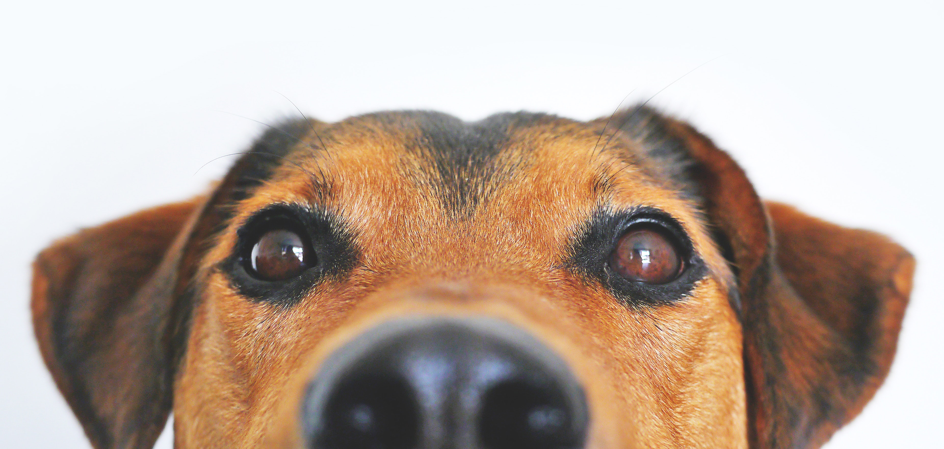 Close up photo of brown dog peeking out of screen